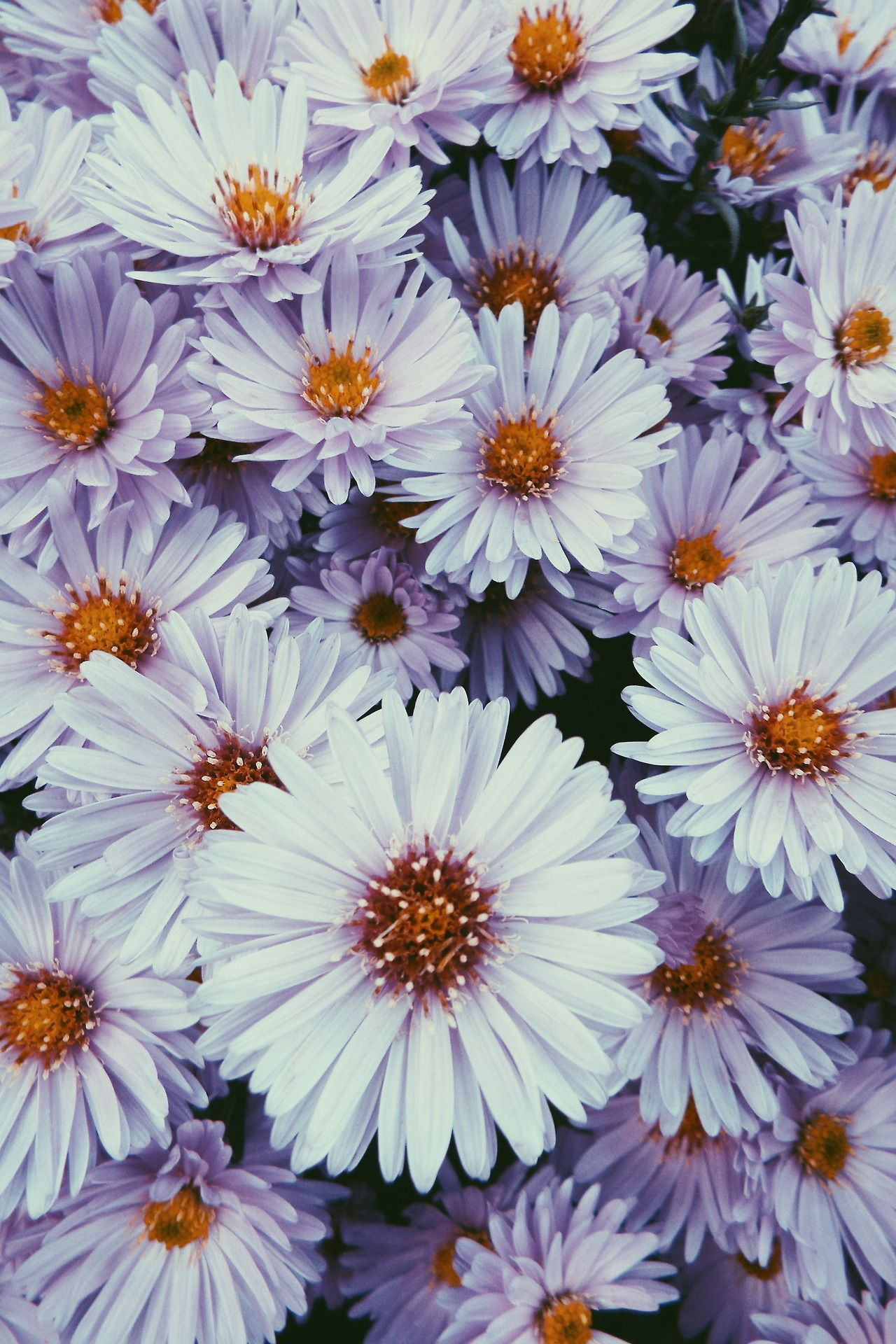 Flower Flowering Plant Aromatic Aster Smooth Aster Petal New York Aster In 2020 Iphone Background Wallpaper Plants Planting Flowers