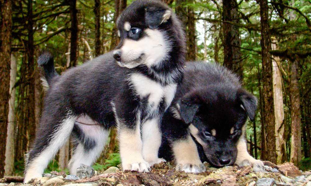 Juneau Sled Dog Discovery Dog Sledding Alaska Dog Dog Adventure