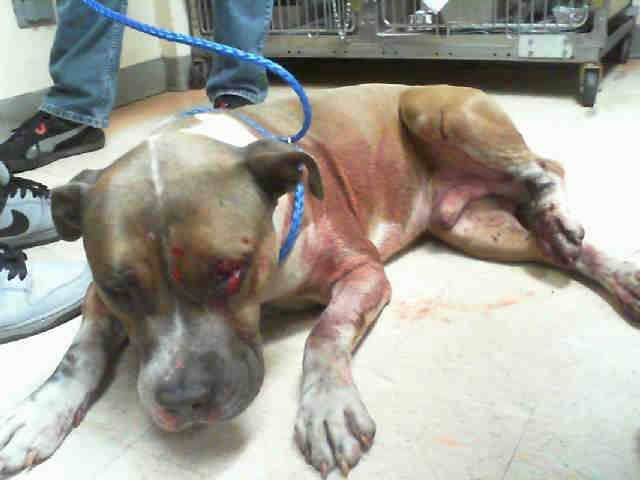 EXTREMELY URGENT!!!! BUDDY (INJURED) (A1662978) I am a male blue and white Pit Bull Terrier. The shelter staff think I am about 1 year old. I was found as a stray and I may be available for adoption on 12/06/2014. — hier: Miami Dade County Animal Services. https://www.facebook.com/urgentdogsofmiami/photos/pb.191859757515102.-2207520000.1417399138./881719998529071/?type=3&theater