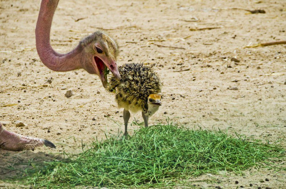 Home طيور العرب Ostrich Animals Eat