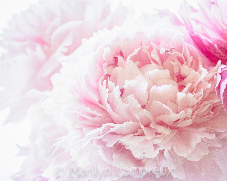 Soft Pink Peony Impressionistic Art - Fine Art Photography ...
