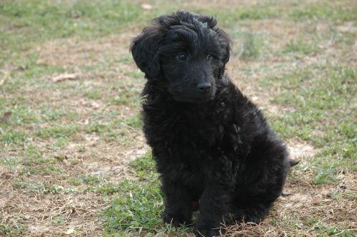3 My Dream Dog Black Goldendoodle Goldendoodle Black Goldendoodle Dogs