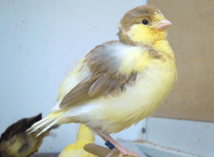 Ciri Khas Burung Kenari Cinnamon Dan Keunikannya Burung Kenari