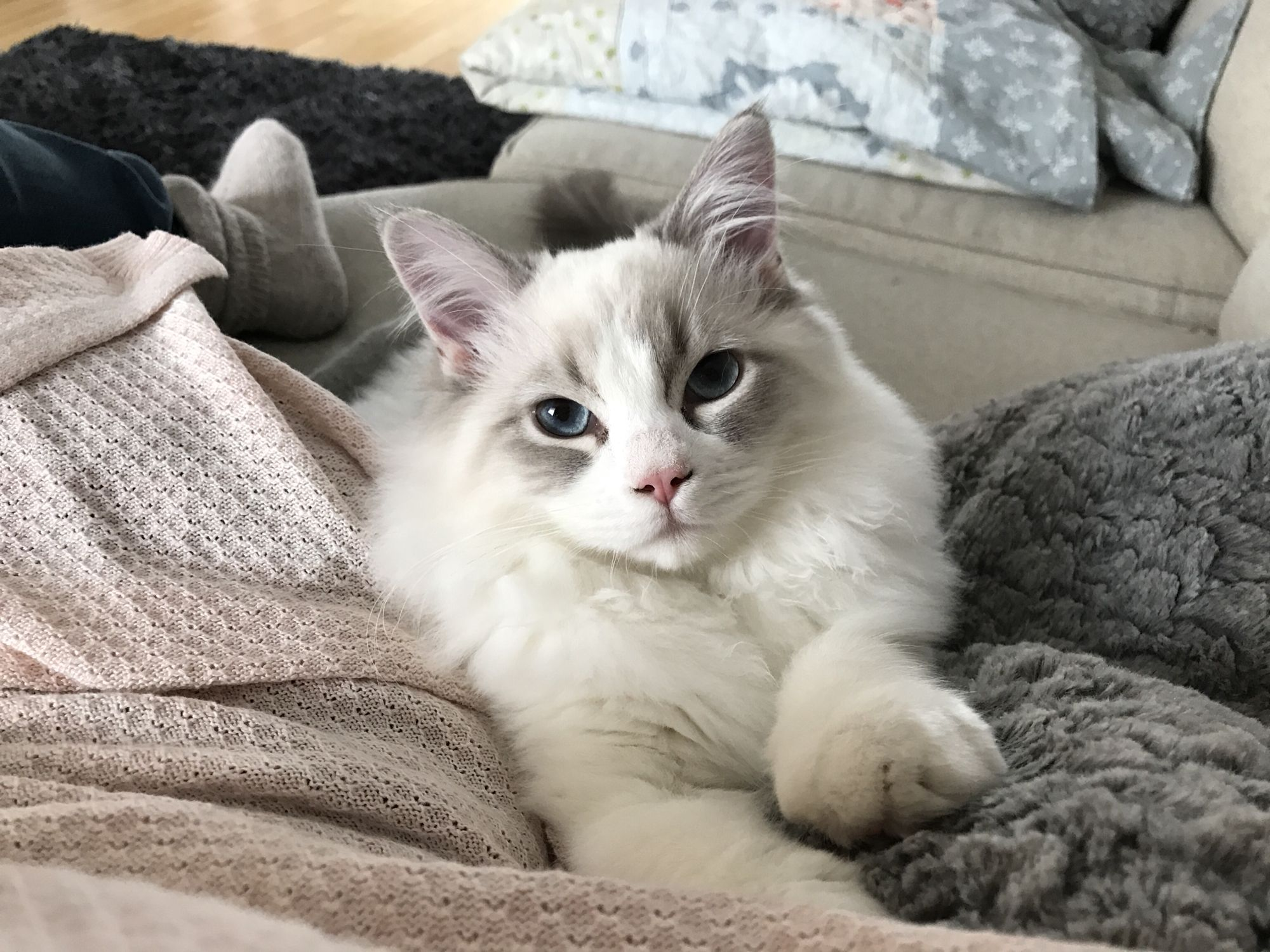 Blue lynx bicolor ragdoll Animals beautiful, Cats and