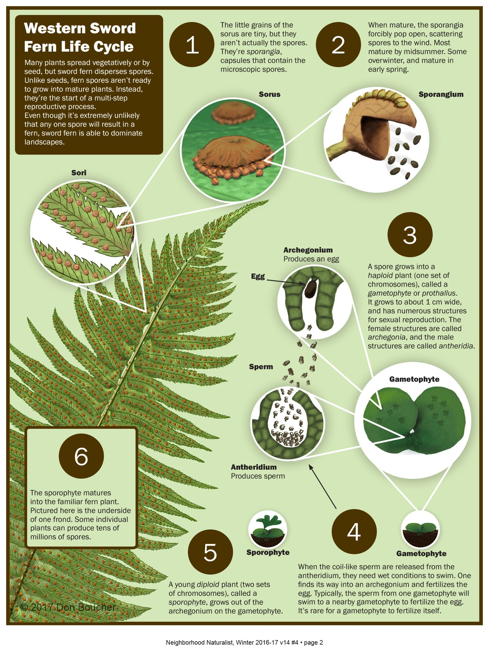 Western Sword Fern Life Cycle Don Boucher