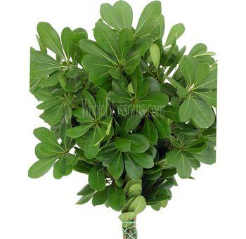 pittosporum green filler greens for flower arrangements