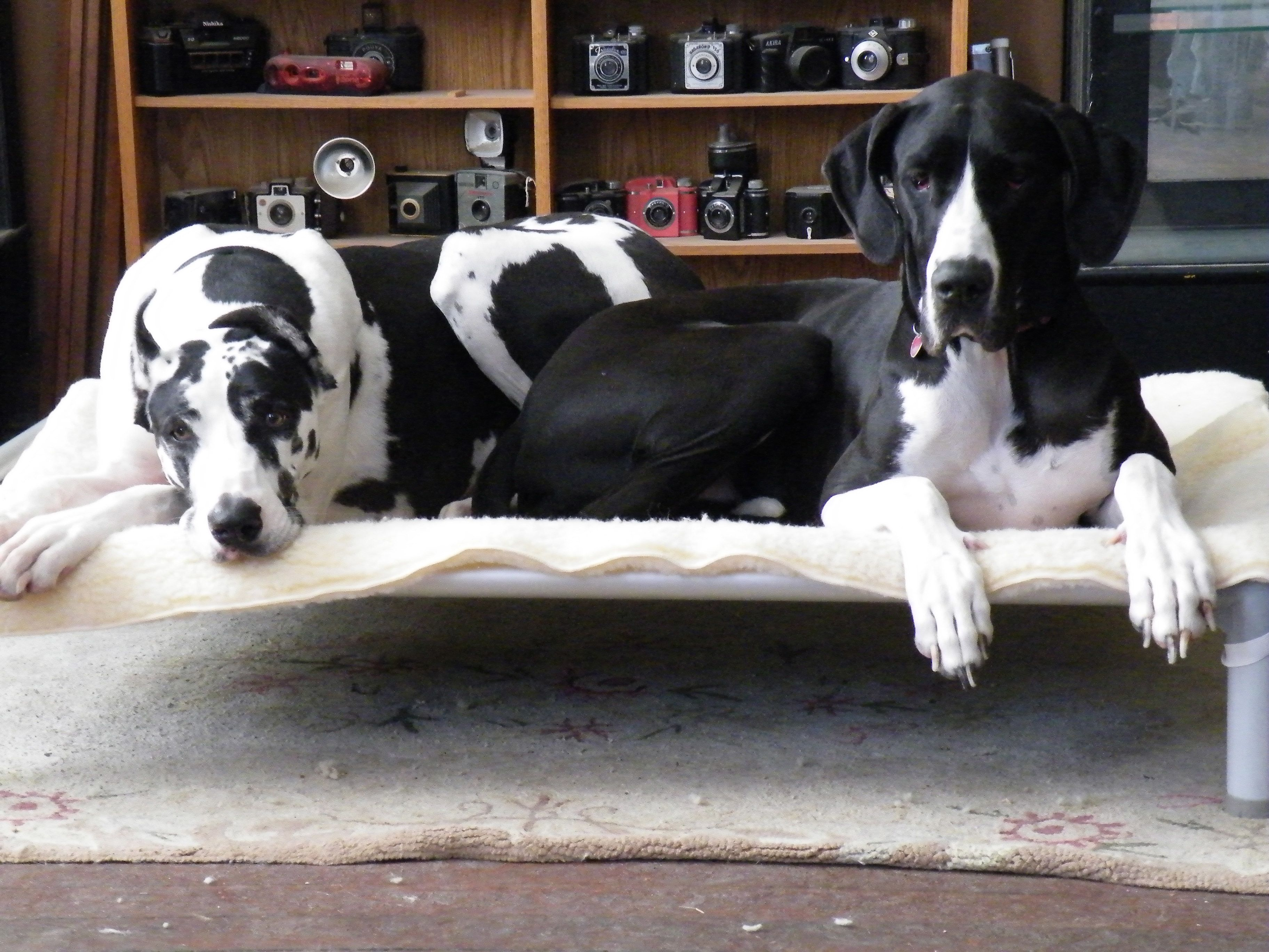 Standard Almond Pvc Dog Bed Pvc Dog Bed Kuranda Dog Beds