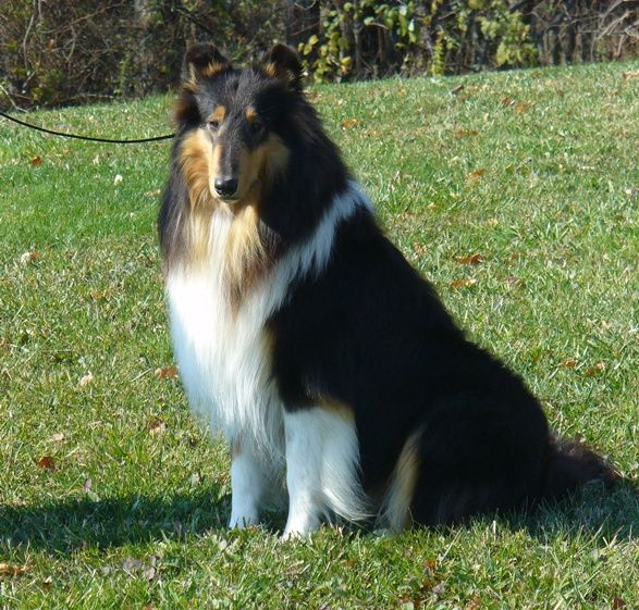 Future Dog Favorite Breed In The World Rough Tri Collie With