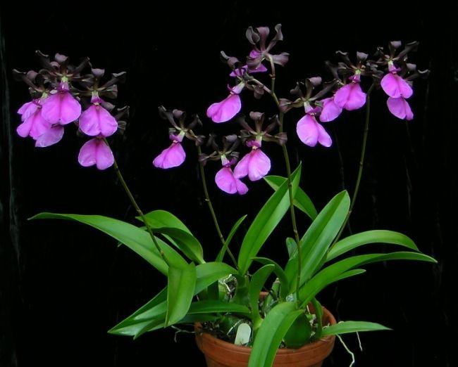 encyclia cordigera encyclia cordigera 39 dragon 39 orchid. Black Bedroom Furniture Sets. Home Design Ideas