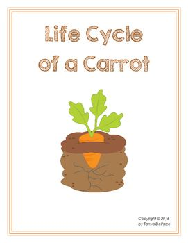life cycle of carrot