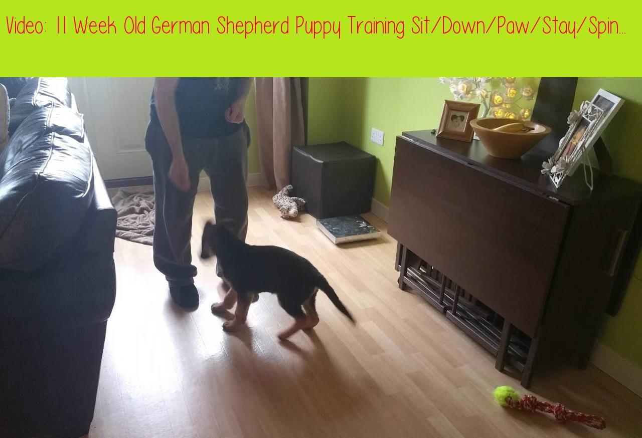 11 Week Old German Shepherd Puppy Training Sit Down Paw Stay