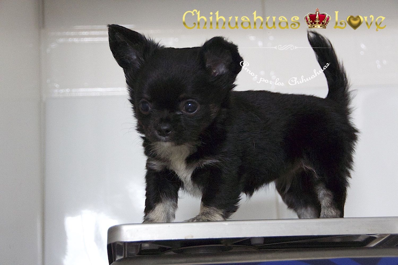 Cachorro Hembra Chihuahua Pelo Largo Disponible Para Venta