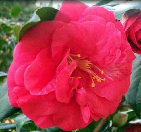 How To Grow Gorgeous Camellias From Cuttings Grow Gorgeous Growing Roses Propagating Plants