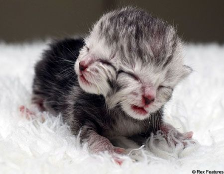 Twoheaded Kitten Has Twice The Cuteness Of Regular Kittens Animal - Venus cat two faces making twice adorable