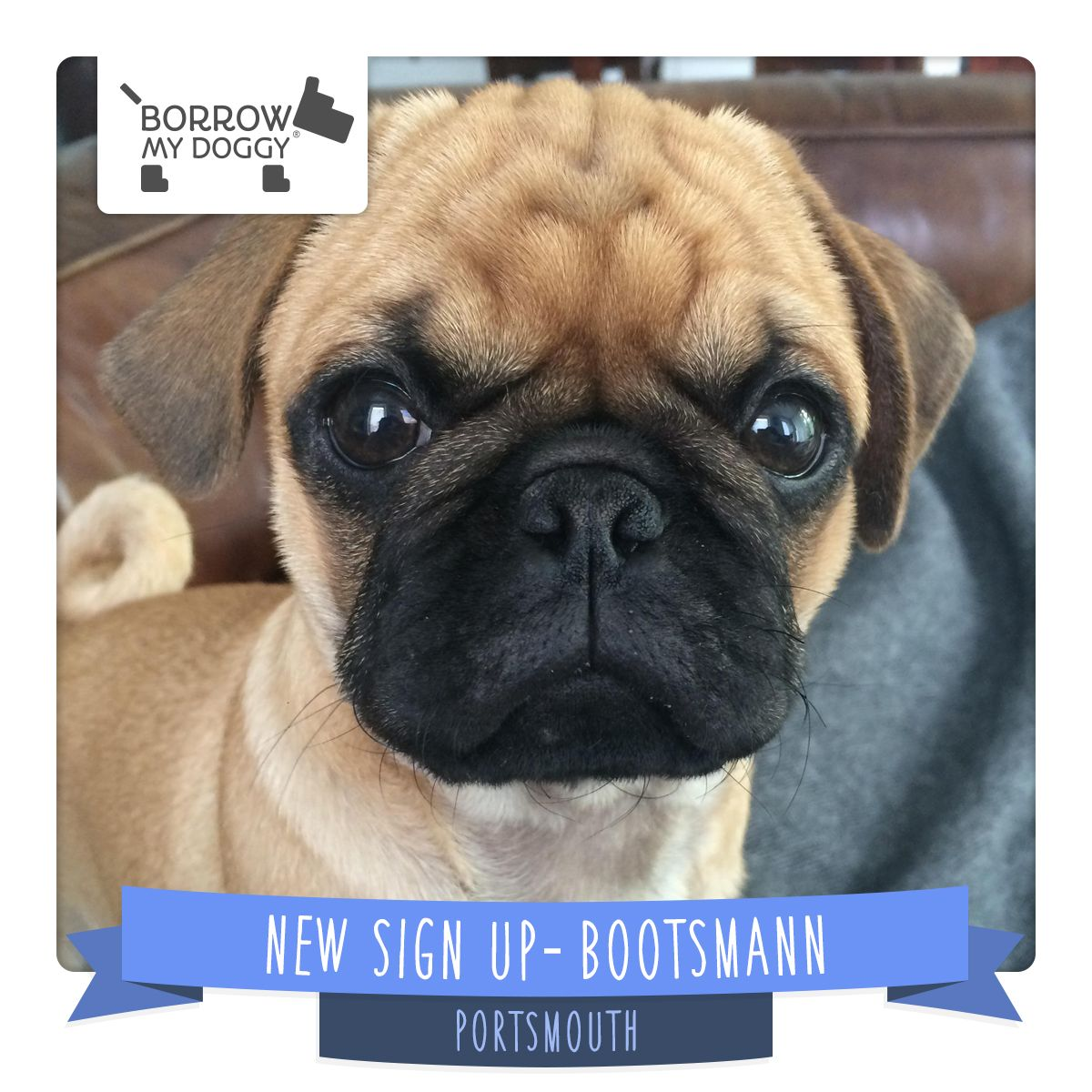 Bootsmann The Pug Is A Newdoggysignup From Portsmouth Who