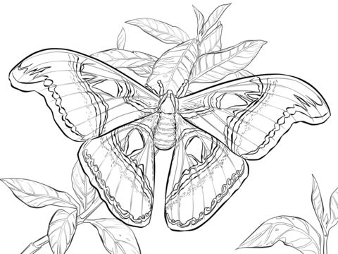 Realistic Atlas Moth Coloring Page Free Printable Coloring Pages Atlas Moth Animal Coloring Pages Coloring Pages
