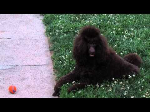 Leavell Poodles Has Poodle Puppies For Sale In Hamilton Oh On Akc