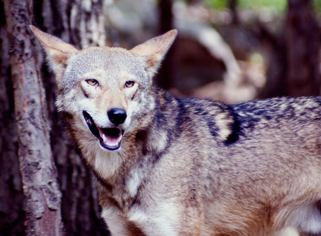 Cry Wolf? Coyote hunting, Animals wild, Animals