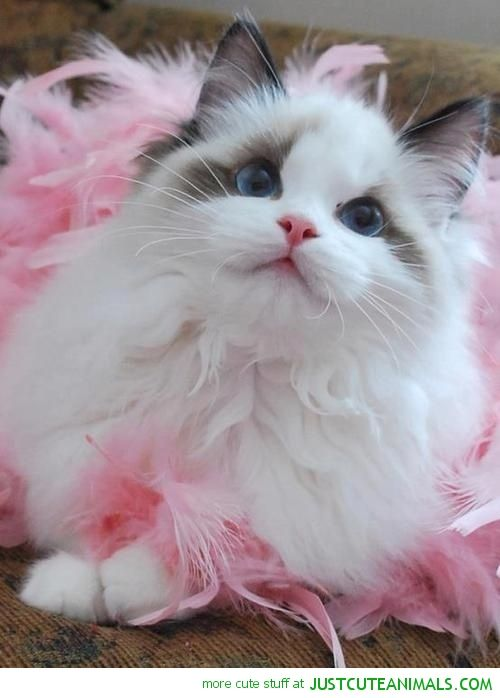 cat kitten lolcat pretty pink tutu dress cute animals wild wildlife species planet earth nature pics pictures photos images