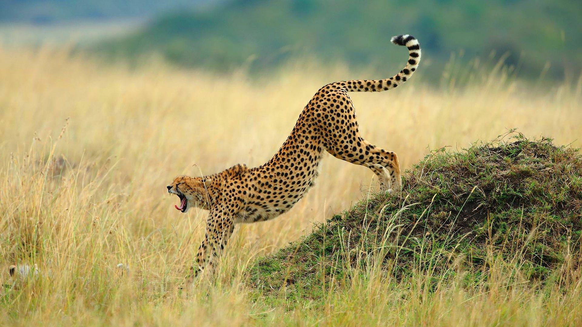 Leopard sports night sunset savannah africa hd wallpaper - National geographic wild wallpapers ...