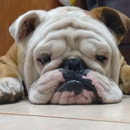Bored bulldog | Dogs | Bulldog puppies, Cute dogs, Dogs