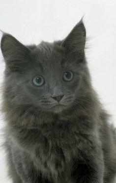 317c56ad2a Turkish Angora. Turkish Angora Turkish Angora Cat ...