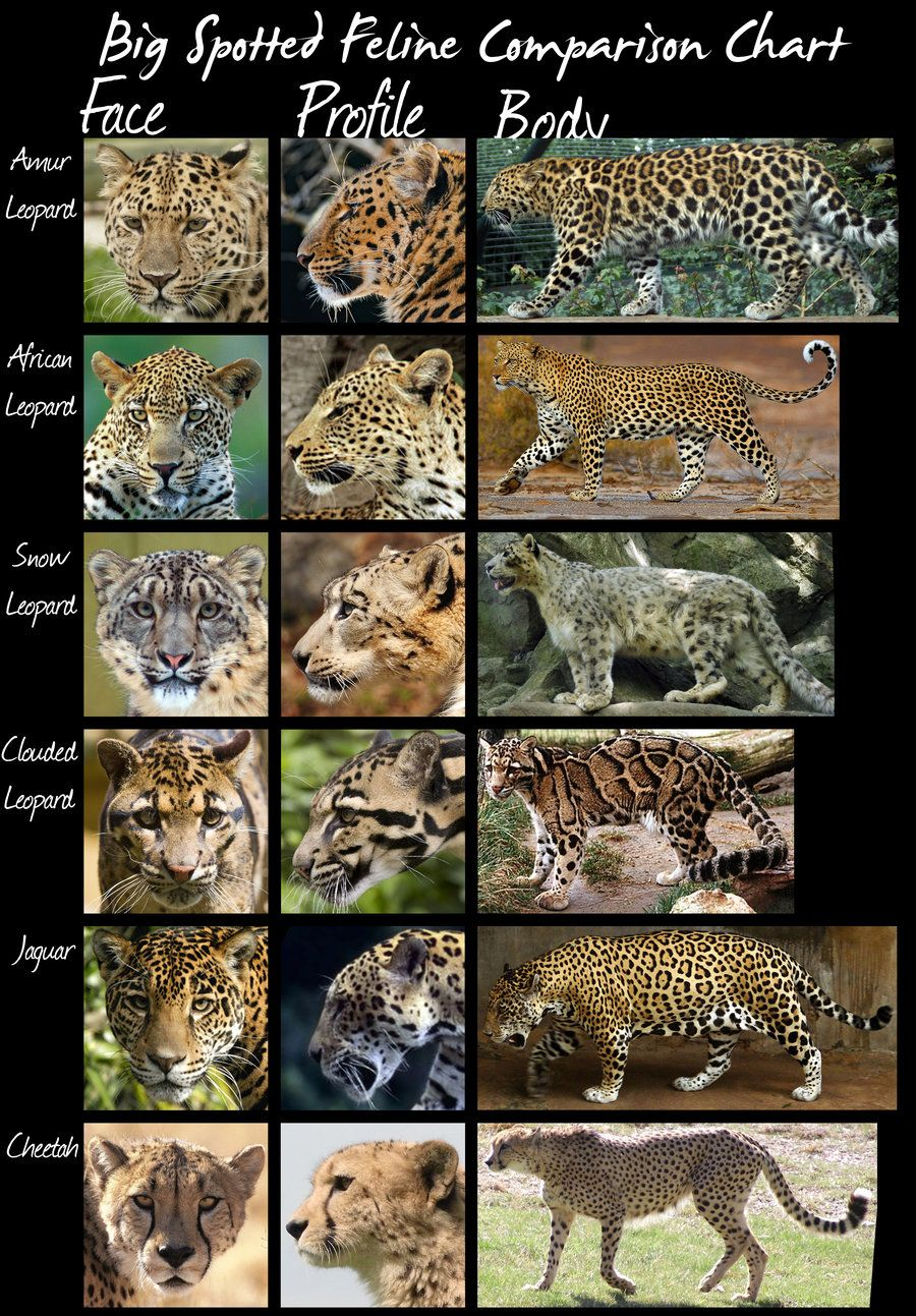 wild cats species comparison chart (larger spotted cats