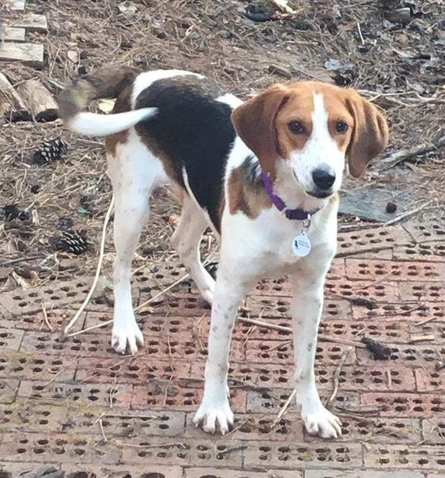 Treeing Walker Coonhound dog for Adoption in Rockaway, NJ