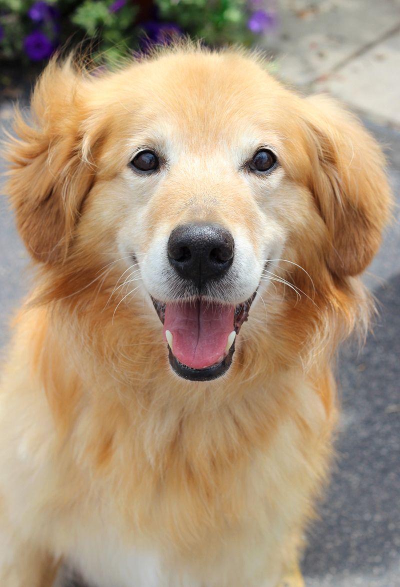 Bert, a senior golden retriever available for adoption