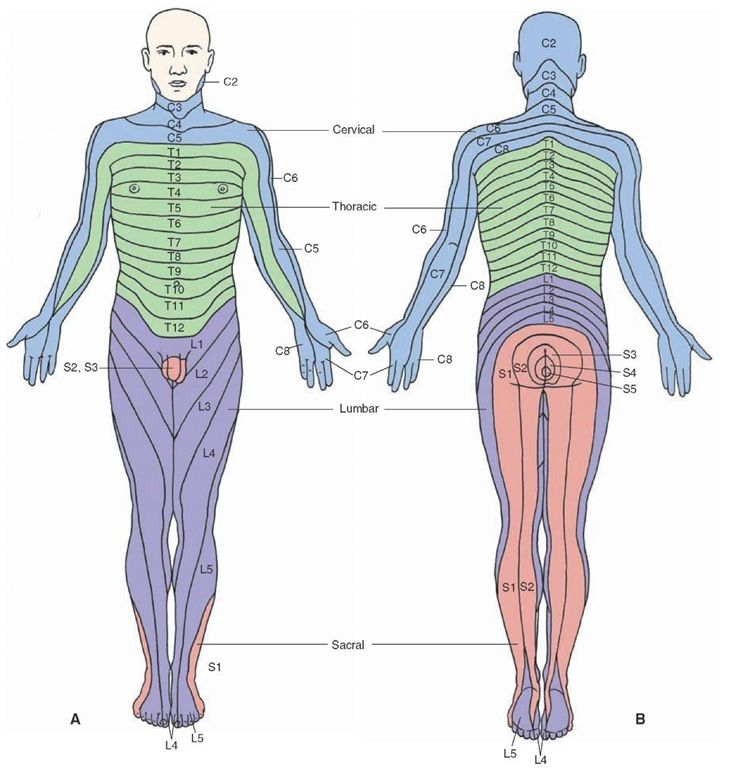 Dermatomal maps of the peripheral distribution of spinal s. (A ... on