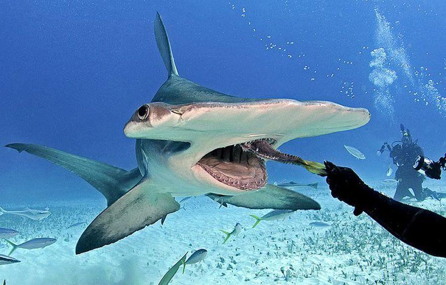 Un fascinante pez martillo cerca de la isla de Bimini Bahamas