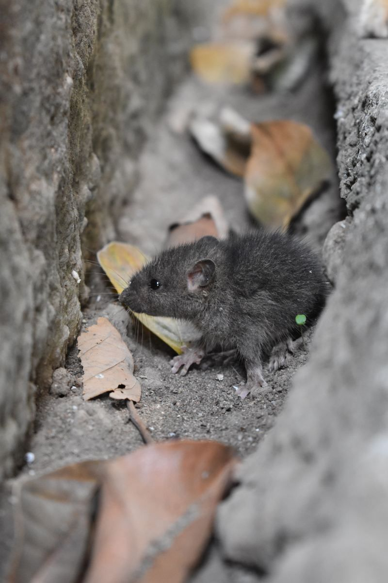 Dear Mice In My Attic Mice Prevention Pest Control Pest Control Services