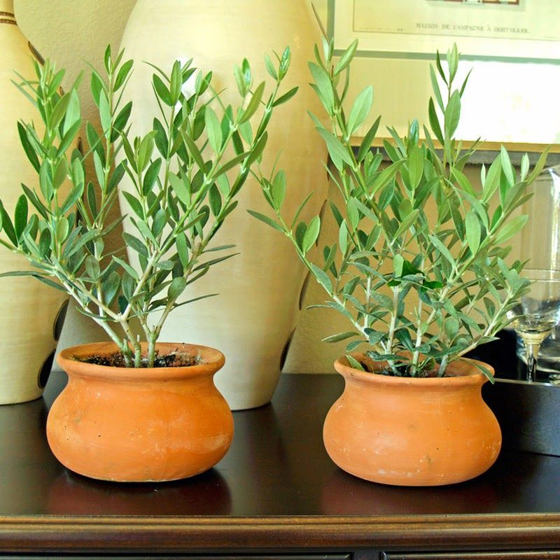 How To Grow An Olive Tree From Seed Growing Olive Trees Plants