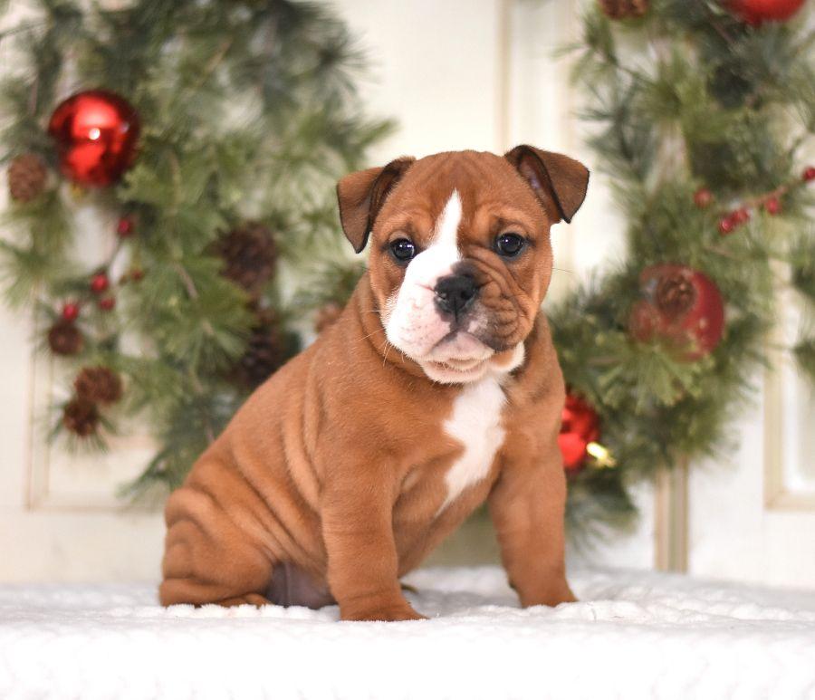 Relaxed Englishbulldog In 2020 English Bulldog Puppies
