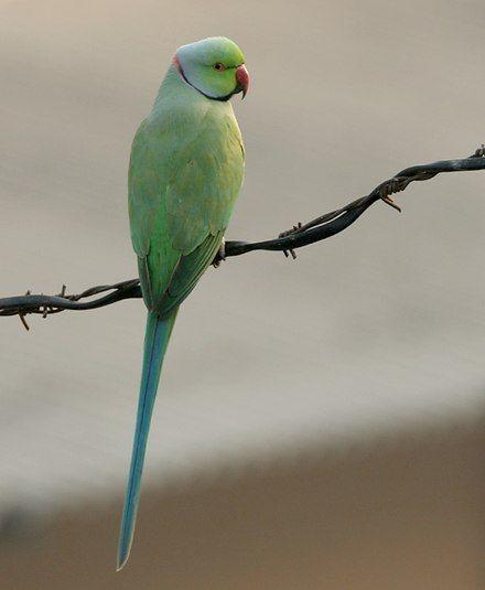 List of birds of India Wikipedia Parakeet