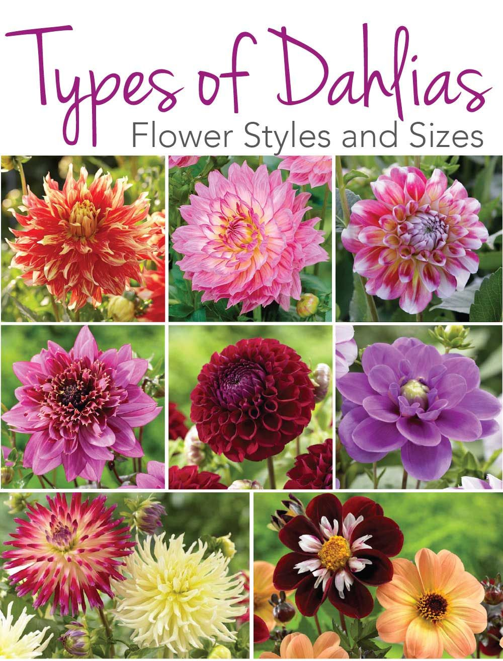 Know Your Dahlias  Flower Styles and Sizes   The Longfield Gardens     Know your Dahlia Styles   Sizes in this wonderfully written blog post full  of gorgeous Dahlia pictures