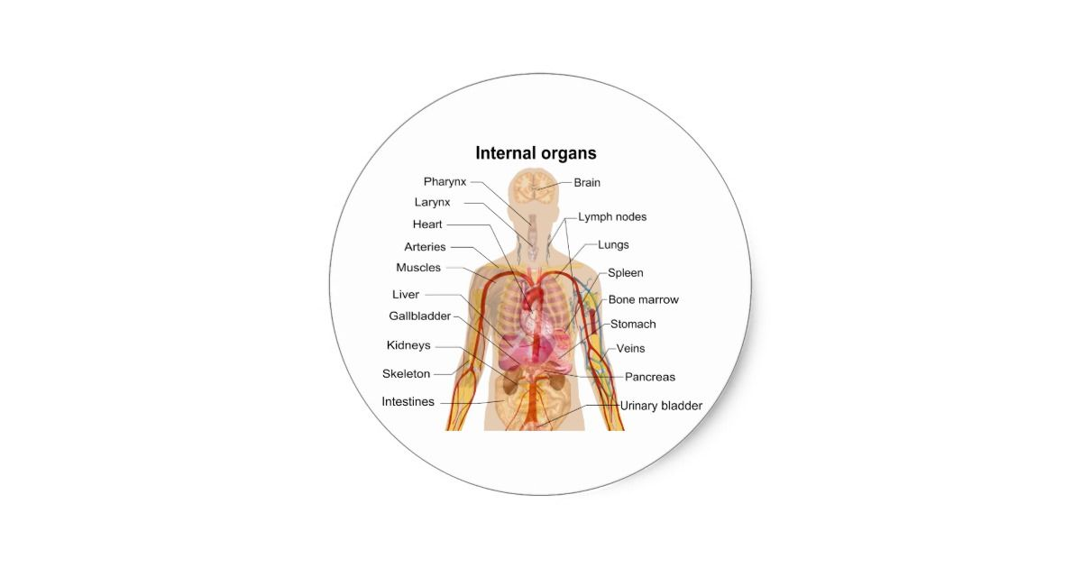 Major Internal Organs In The Human Body Chart Classic Round Sticker
