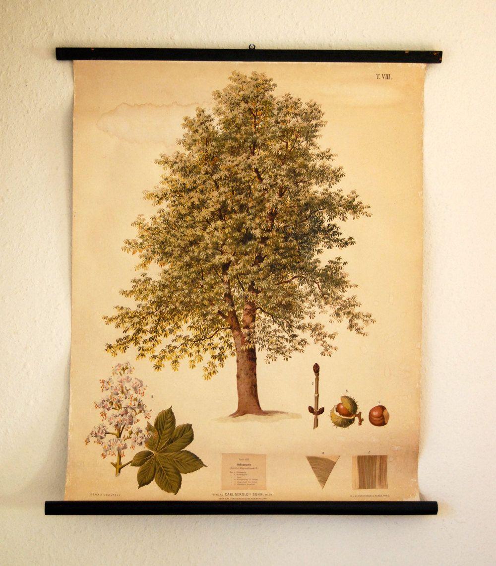 Vintage Austrian Educational Poster Of Chestnut Tree