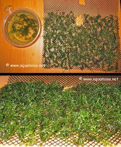 How To Grow Aquatic Moss Wall Aquascape Aquarium Freshwater