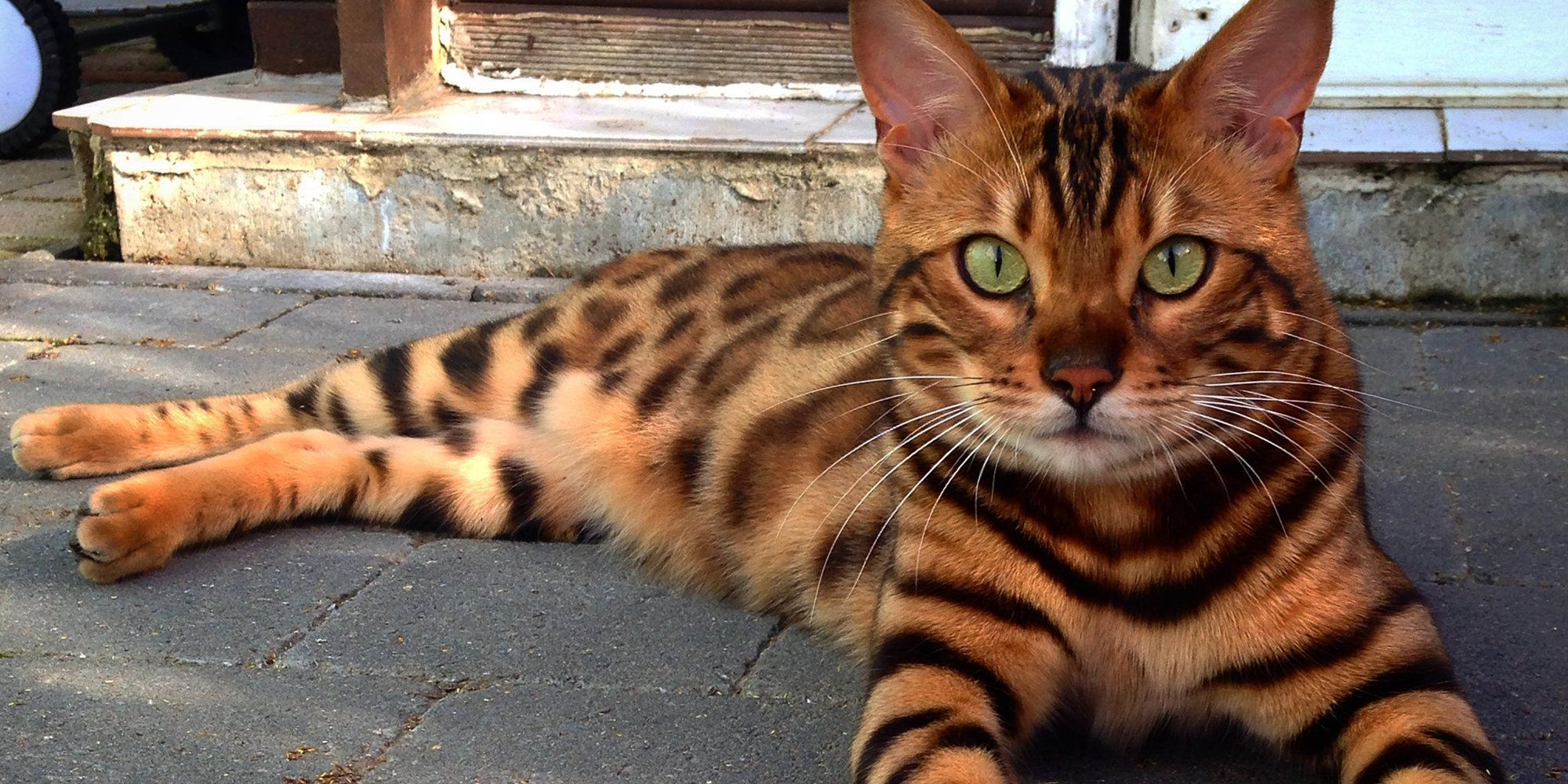 Bengal Hypoallergenic Cat Breeds Guide Pets News And Review