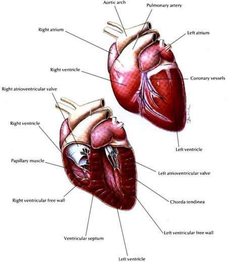 Dog Heart Anatomy Diagram Collection Of Wiring Diagram