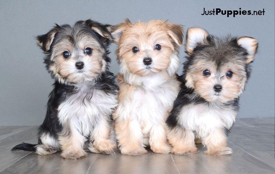 Puppies For Sale Orlando Fl Justpuppiesnet Puppylove