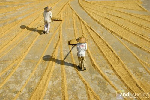Balinese farmers collecting the rice after drying in the sun.
