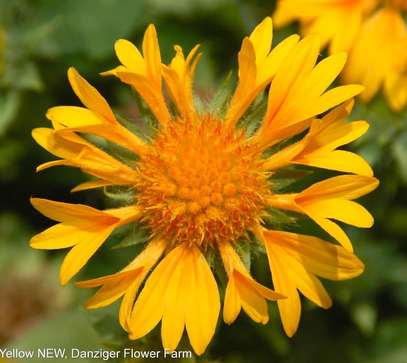 Blanket Flower Galya Corneto Yellow Gaillardia X Grandiflora