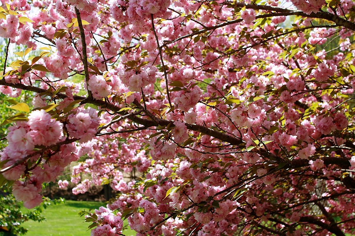 Pink Flowering Tree Identification Pink Flower Trees File