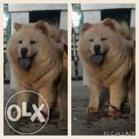 Chow Chow Stud Labrador Puppy Chihuahua For Sale Online Pet