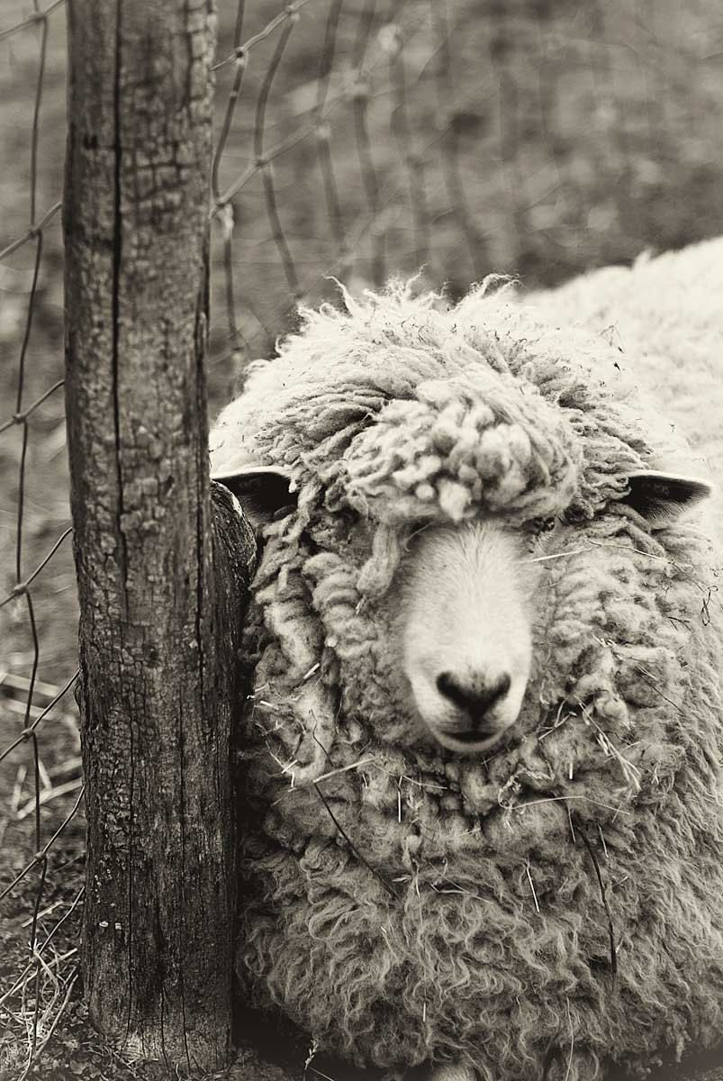 Sheep Photo, Black and White Print, Monochromatic art, animal photography, nature print, wall art - woolly sheep at rest - 8x12. $30.00, via Etsy.