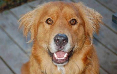 I Found Jake Tulsa On Golden Retriever Rescue Pitbulls Dogs