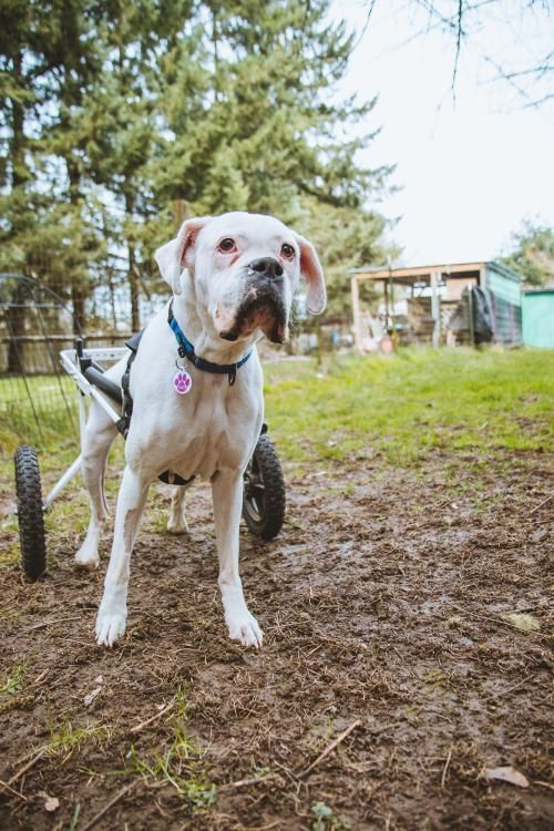 Adopt Willow On Pet Search Boxer Dogs Adoption