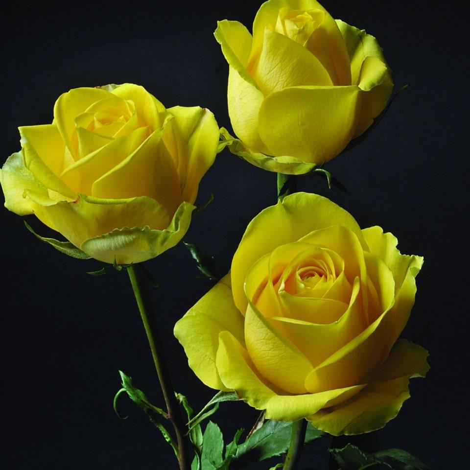 18c79fd85621 Latina  RoseVarieties  RosesColombia  RedilRoses  ColombianFlowers  Roses  Standard Roses